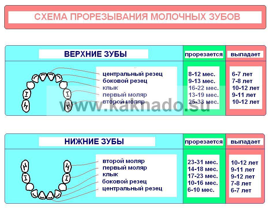 схема прорезывания зубов у
