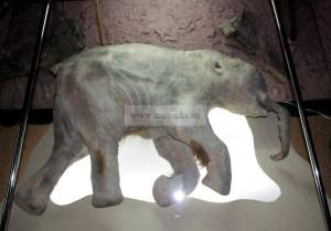 мамонтенок люба в музее мамонтов в москве