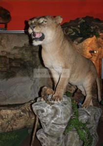 искусственное чучело пещерного льва в музее ледниковый период на ввц