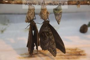 родившиеся бабочки сушат крылья