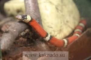 молочная змея в московском доме бабочек на вднх