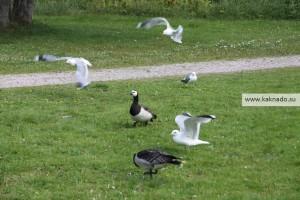 гуси и чайки в сеурасаари