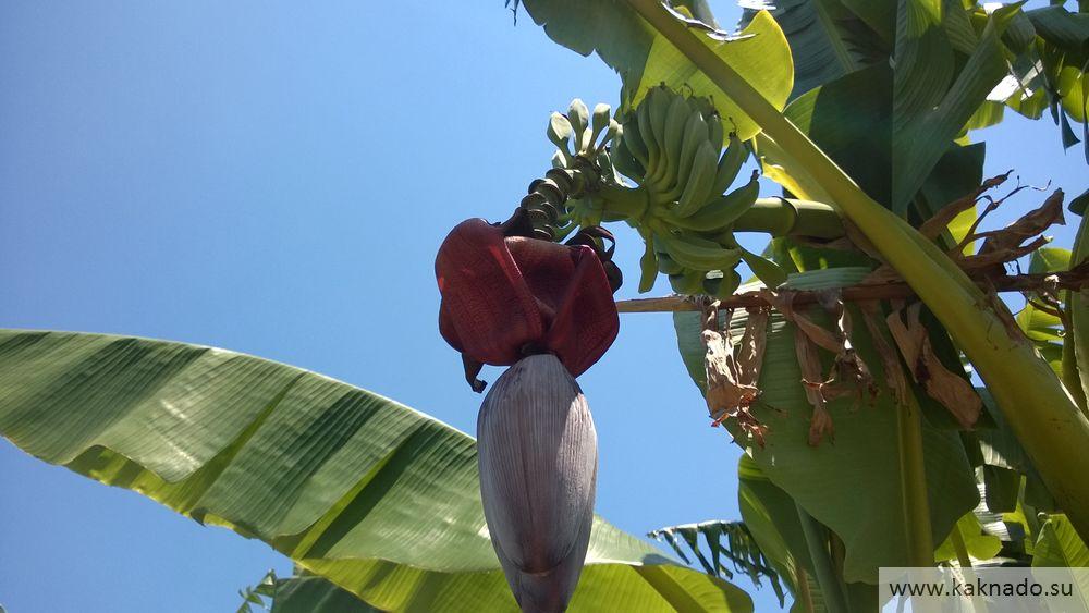 банановая пальма в чирали