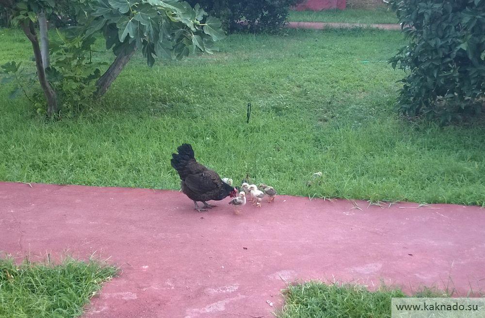 курица с цыплятами в чирали