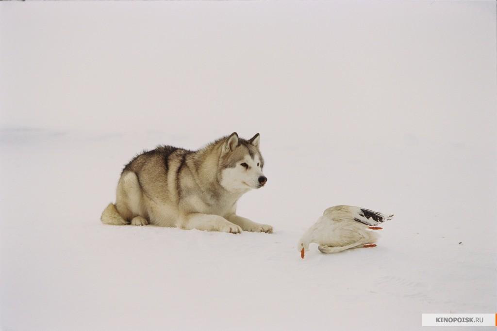 белый плен