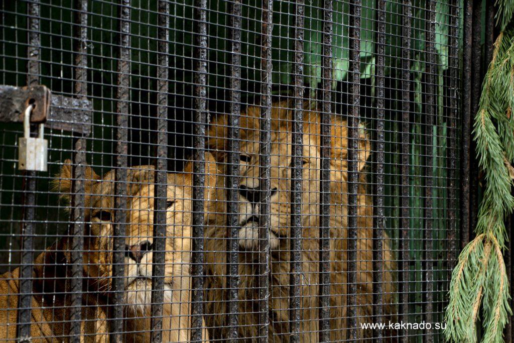 львы в ленинградском зоопарке